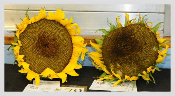 sunflower heads