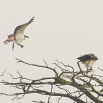 Two Ospreys in a Tree