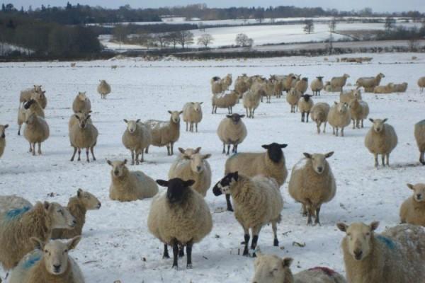 Sheep February 2014 Daphne Stanley